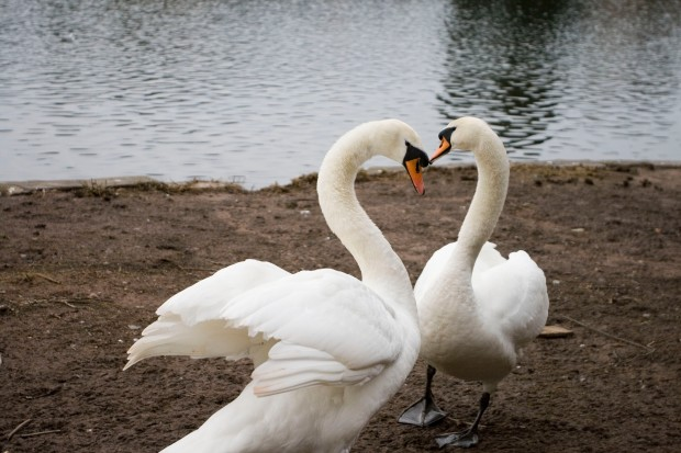 'Be my Valentine' said the swan to the other swan - Jayne Lutwyche